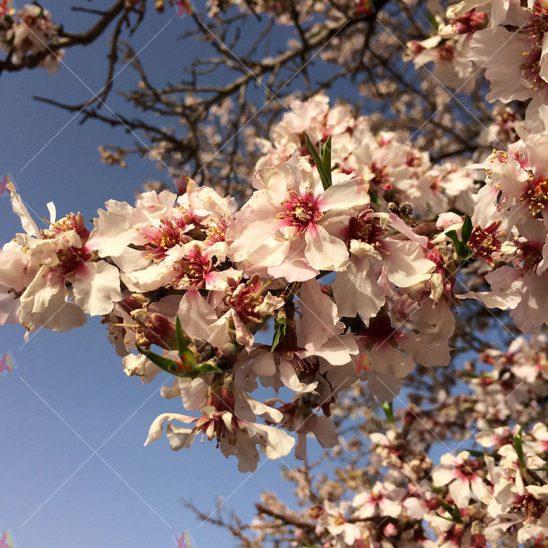 عکس با کیفیت گل های بهاری+بهار بادام