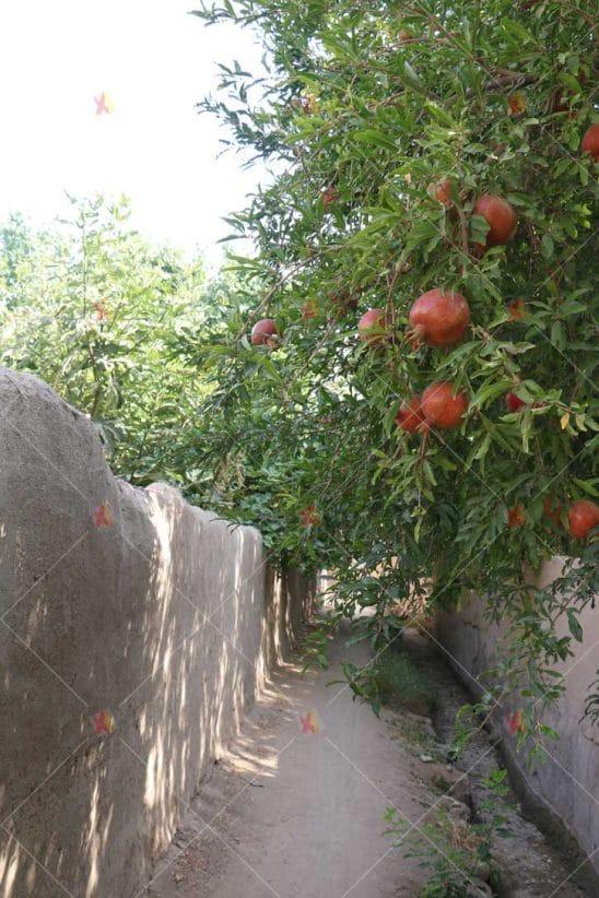 تصویر با کیفیت کوچه باغ قدیمی و درخت انار