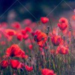 تصویر با کیفیت دشت لاله سرخ high resolution tulip flower